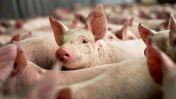 Carantină la Comrat: A fost înregistrat un focar de pestă porcină