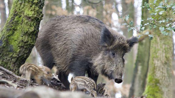 Focar de pestă porcină la Briceni. Cadavre de mistreți, găsite de polițiștii de frontieră