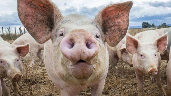 Un nou caz pozitiv de pestă porcină și altele șase de rabie. Iată situația actuală din țară