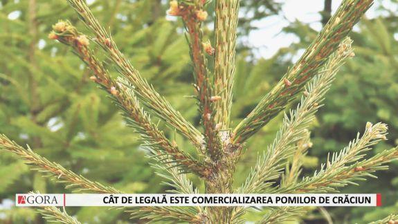 VIDEO. De unde vin pomii de Crăciun și cât de legală este comercializarea lor în prag de sărbători